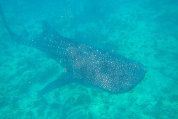 Whale Shark Excursion in the Maldives