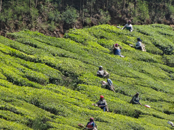 Tea Fields in Munnar