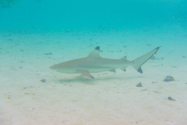 Black Tip Reef Sharks are Everywhere