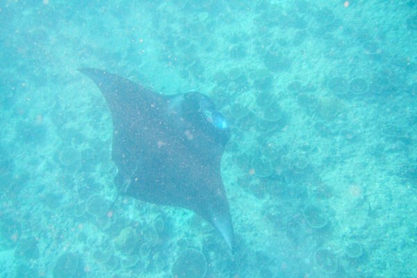 Snorkeling with a Manta Ray in the Maldives