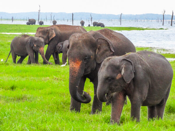 Elephants in Kaudulla National Park