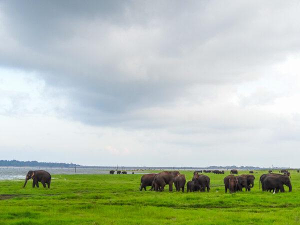 Elephant Migration in Sri Lanka