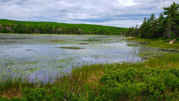 Water Lilies at Acadia