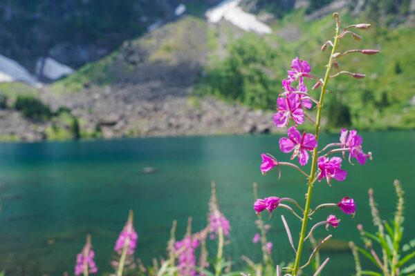 Wildflower at Lake Twenty Two